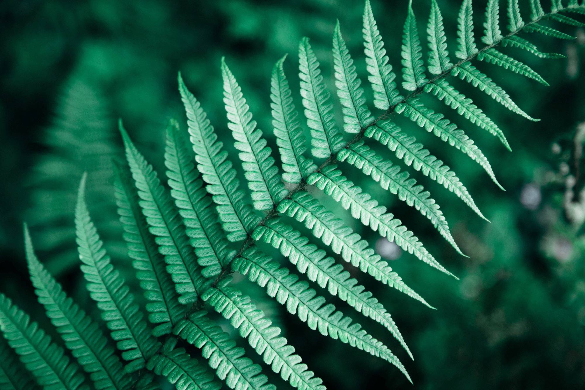 Fern cover